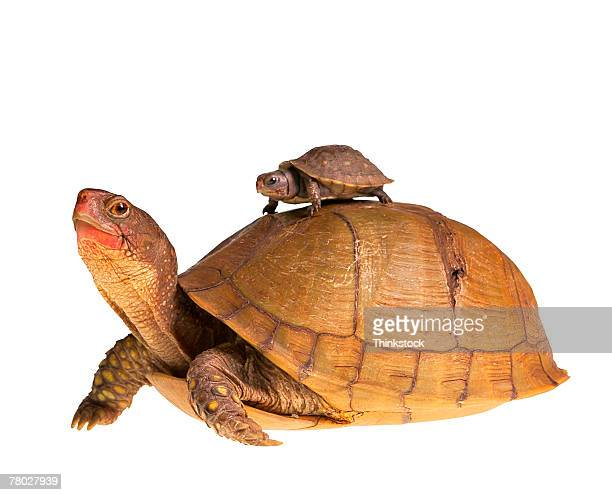 a small turtle rides on the back of a larger turtle - big arse stock pictures, royalty-free photos & images