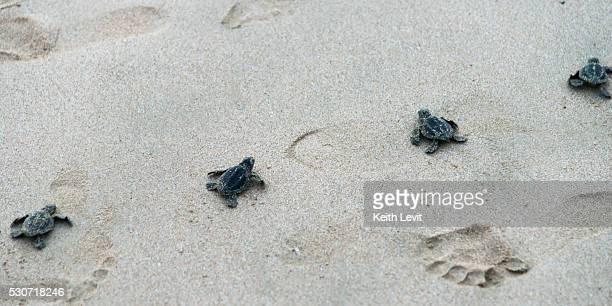 small turtles and their tracks and footprints in the sand; ixtapa-zihuatanejo, guerrero, mexico - ixtapa zihuatanejo fotografías e imágenes de stock