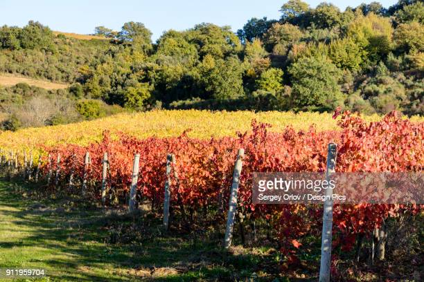 A Small Tuscany Vineyard Near Montalcino City With Colourful Yellow And Red Autumn Leaves