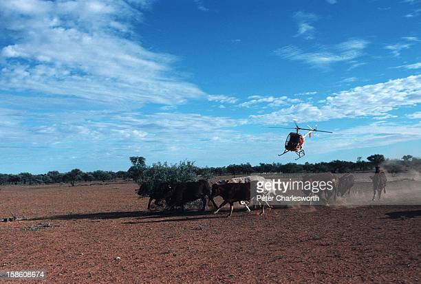 A small two seat helicopter herding cattle on a vast cattle station or ranch in outback Australia Helicopters are used to help cowboys on horseback...