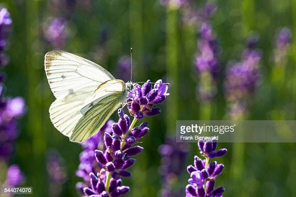Small White Butterfly is collecting nectar at a purple Lavender blossom