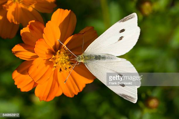 A small white butterfly is collecting nectar at an orange flower blossom