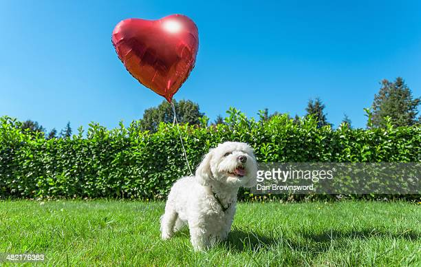 Small white dog attached to red heart shaped balloon