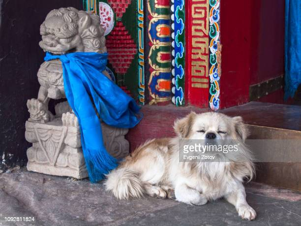 small white dog sleeping next to the statue of sitting guard lion in wudang lamasery, inner mongolia, china - long haired chihuahua stock photos and pictures