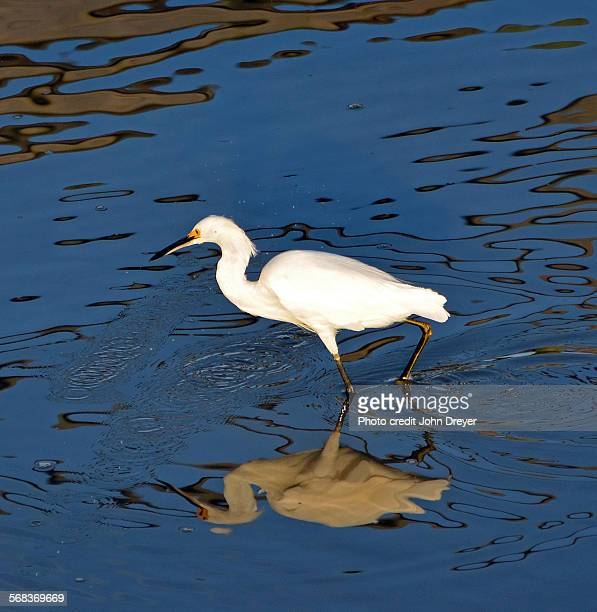 Great Egret On Prowl >> 60 Top Cattle Egret Pictures Photos Images Getty Images