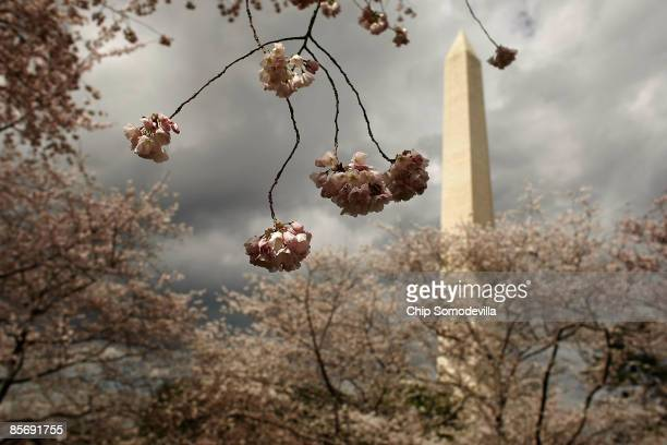 Small white flowers bloom on the end of a cherry tree branch near the base of the Washington Monument March 29 2009 in Washington DC With musical and...