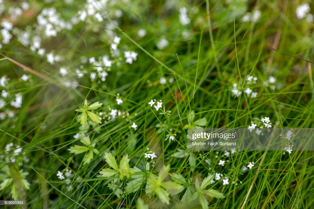Small white flowers grow in the grass in a forest in hordaland small white flowers grow in the grass in a forest in hordaland county norway summertime mightylinksfo
