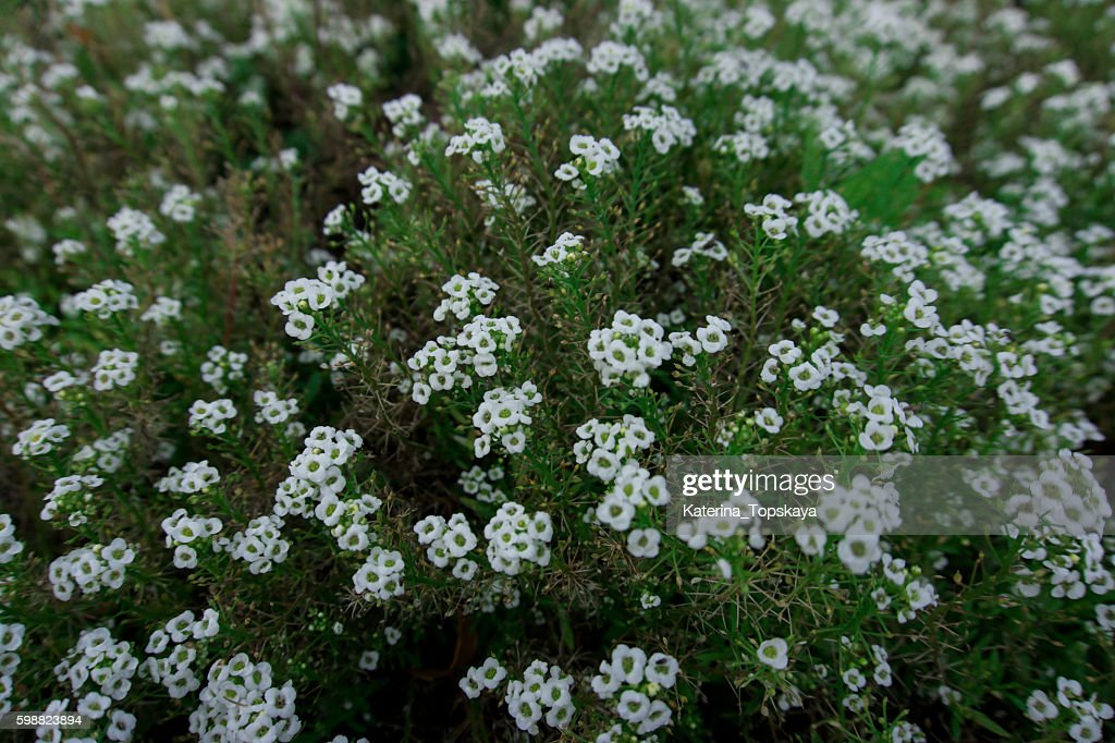 Small white flowers in the flowerbed a lot of white flowers stock small white flowers in the flowerbed a lot of white flowers stock photo mightylinksfo
