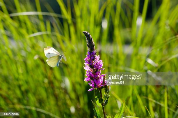 Small White flying to Purple Loosestrife