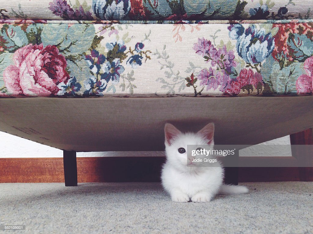 Small white kitten hiding beneath a floral couch : Stock Photo