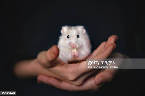 small white syrian hamster eating cheese in the hands of its owner on a black background - hamster imagens e fotografias de stock