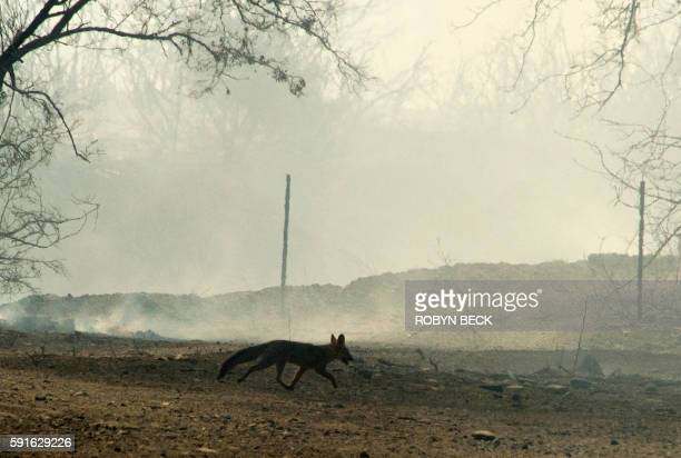 A small wild animal possibly a fox or a coyote pup tries to escape the burning embers left by the Blue Cut Fire after it burned through a rural...
