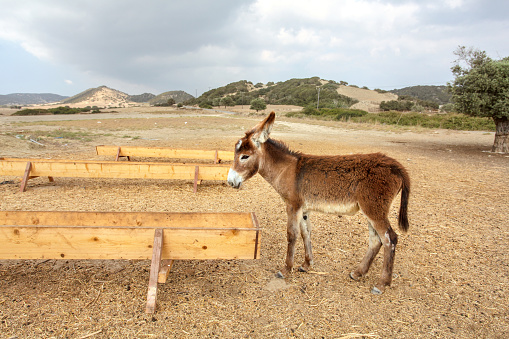 Small wild donkey near food / water channel flume. Animals are roaming freely in Karpass region of Northern Cyprus 1137156148