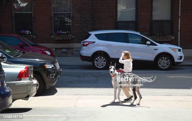 small woman walks large great dane along a city street - timothy hearsum stock-fotos und bilder