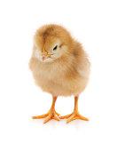 http://www.istockphoto.com/photo/small-yellow-chicken-gm892304270-246989110