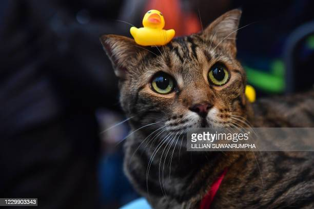 Small yellow rubber duck toy is placed on the head of a cat during an anti-government rally by pro-democracy protesters at Lat Phrao intersection in...