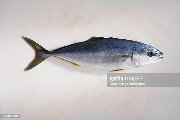 small yellowfin tuna - yellowfin tuna stock photos and pictures