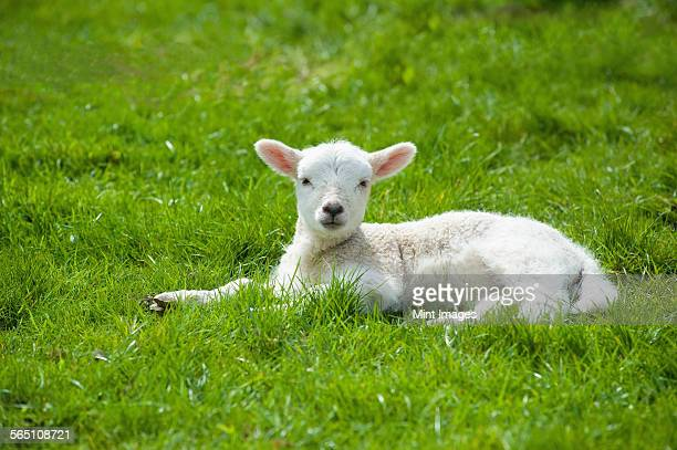 a small young lamb with white fur, lying on the grass with its head up  - 子羊 ストックフォトと画像