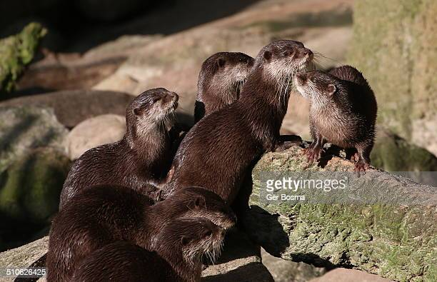 Small-clawed Otter family