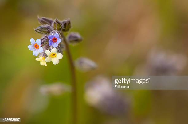 Small-flowered forget-me-not
