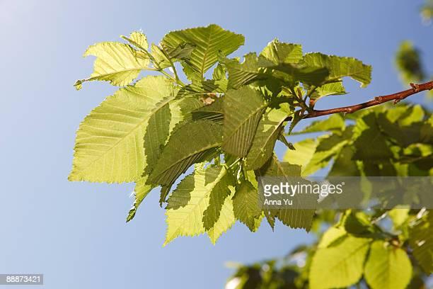 Small-leaved Elm (Ulmus minor)