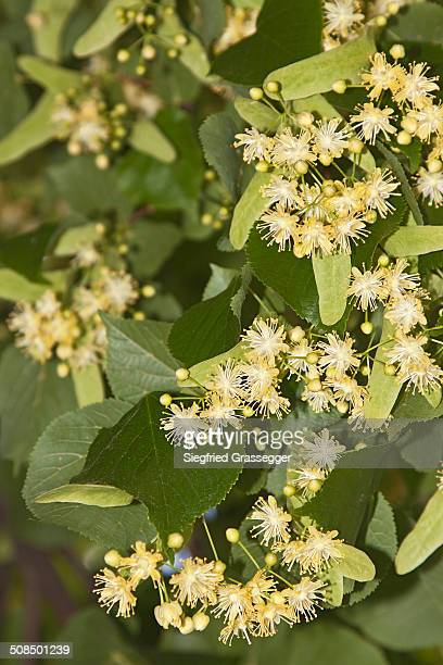 Small-leaved lime -Tilia cordata-, flowers