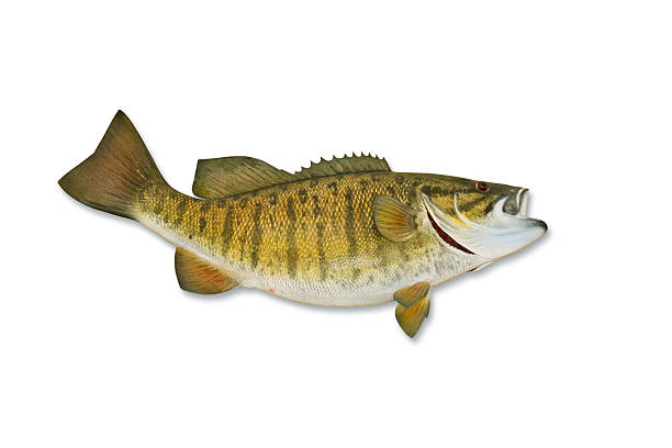 Smallmouth Bass With Clipping Path Wall Art
