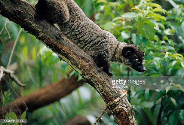 small-toothed palm civet (arctogalidia trivirgata) standing on curved branch, ,asia - gato civeta fotografías e imágenes de stock