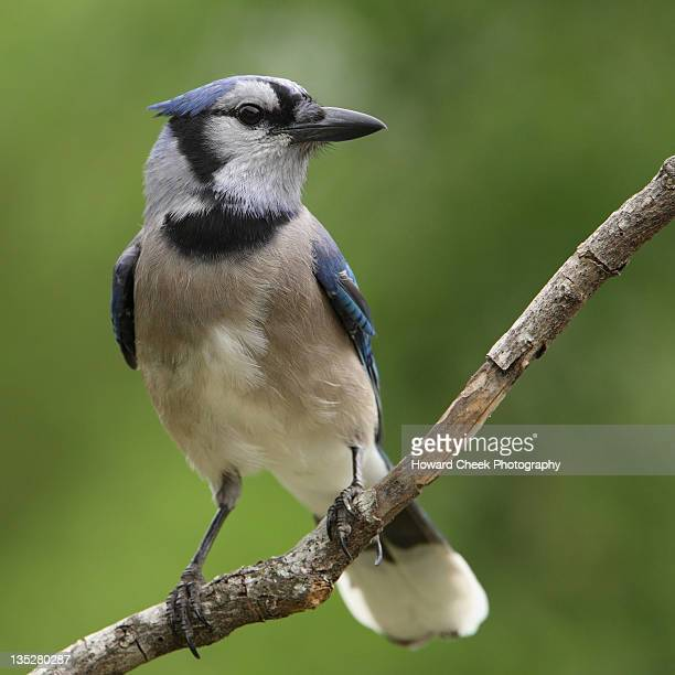 Smart blue jay bird