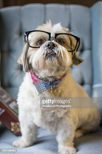 smart dog - lhasa apso bildbanksfoton och bilder