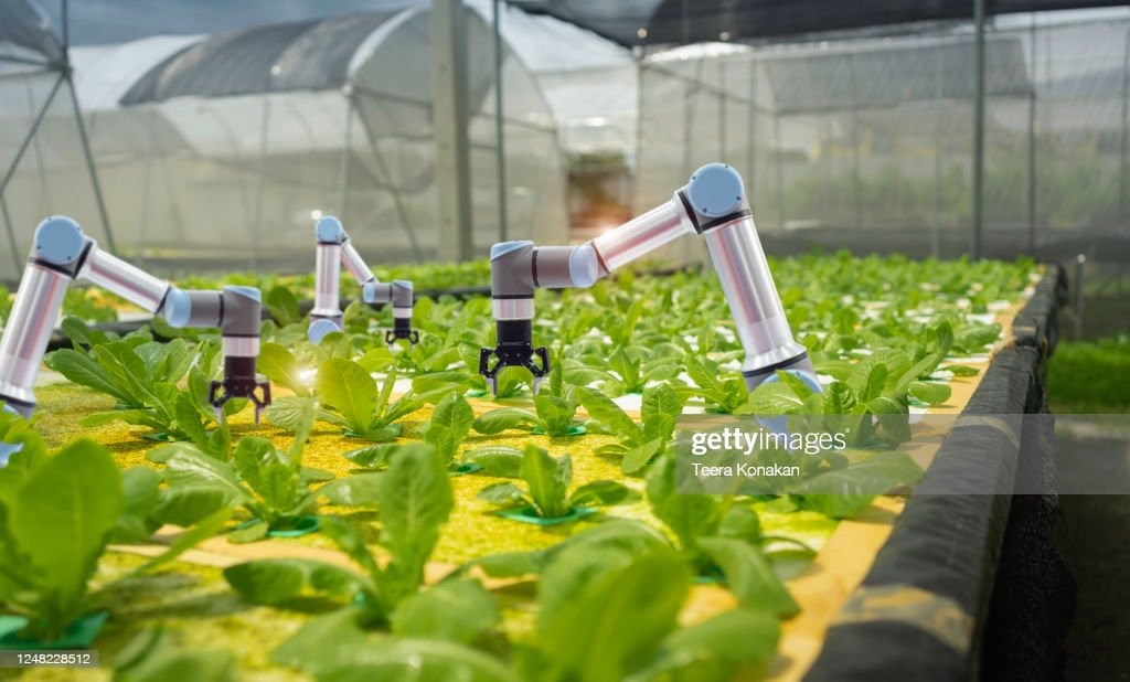 Smart farming agricultural technology and smart arm robots are harvesting hydroponics vegetables, Organic agriculture concept. : Stock Photo