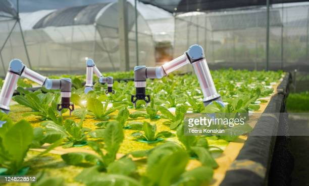 smart farming agricultural technology and smart arm robots are harvesting hydroponics vegetables, organic agriculture concept. - robot stock pictures, royalty-free photos & images