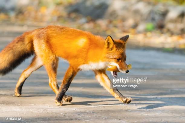 smart red fox with fiery fur color running on country road with food in mouth - fuchspfote stock-fotos und bilder
