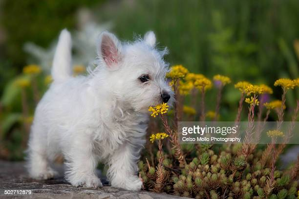 smell the flowers - west highland white terrier stock photos and pictures