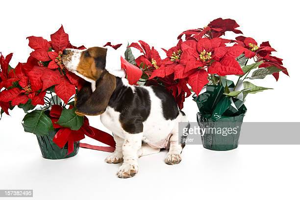 smelling poinsettias - poinsettia stock photos and pictures