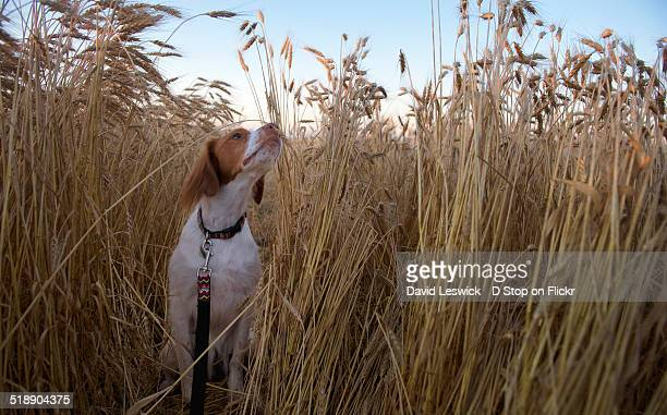 smelling the wheat - brittany spaniel stock pictures, royalty-free photos & images