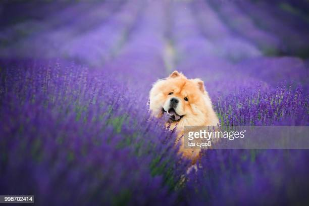 smiiile - chow stock pictures, royalty-free photos & images