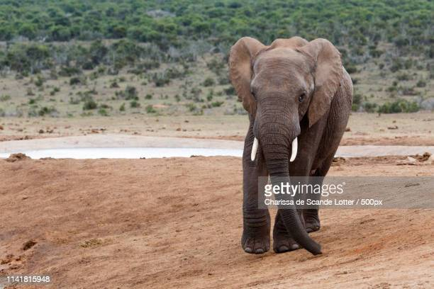 smile for the camara - african bush elephant - for stock pictures, royalty-free photos & images