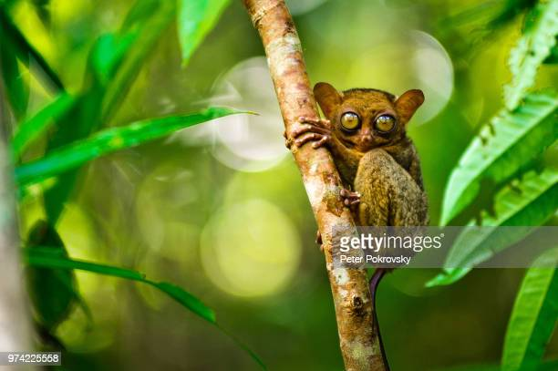 smile! - tarsier stock photos and pictures