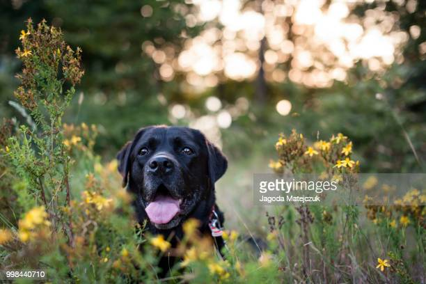 smile - black labrador stock pictures, royalty-free photos & images