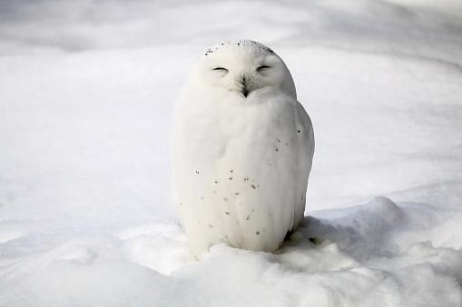 Smiley snowy owl 637105186