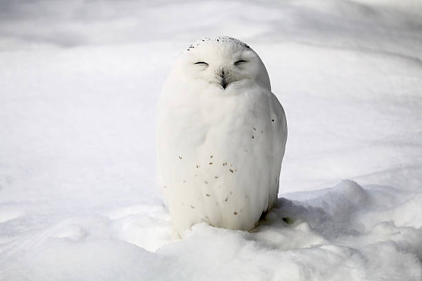 Smiley snowy owl