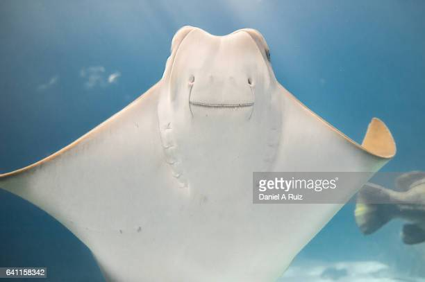 Smiley Stingray