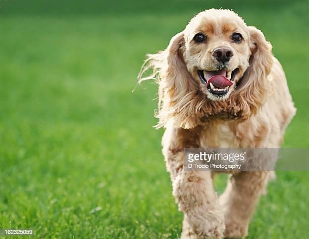 Smiling American Cocker Spaniel