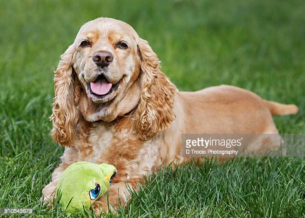 Smiling American Cocker Spaniel