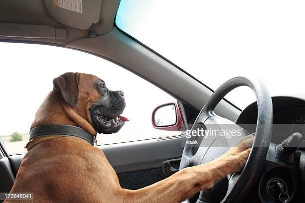 A smiling big dog driving a car