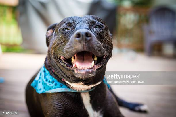 smiling black pit bull terrier - american pit bull terrier stock pictures, royalty-free photos & images