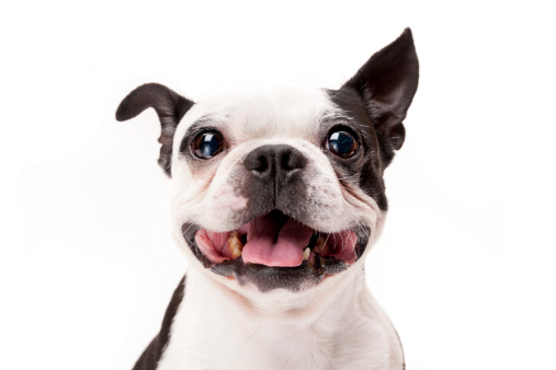 Smiling Boston Terrier Dog on White Background Close-up 483531287