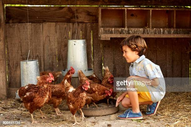 smiling boy looking at hens in coop on sunny day - livestock stock pictures, royalty-free photos & images