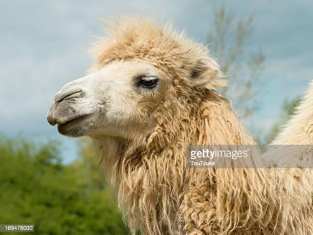 Smiling camel enjoying the good weather